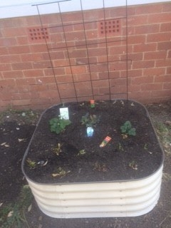 Merrylands high school student garden. Square garden bed containing small amount of green plants.